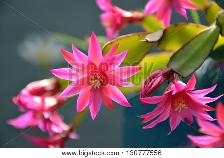 Bright pink flowers of the Christmas Cactus Schlumbergera