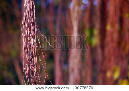 Brown Tree Vines In The Rainforest