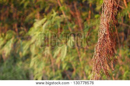 Brown Tree Vines In Rainforest