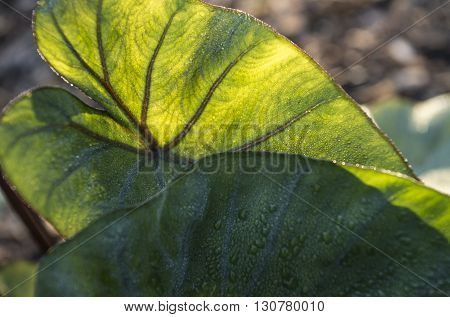 Elephant Ears plant showing the veins with the sunlight hitting the back side of the leaf. Morning dew on the opposite side.
