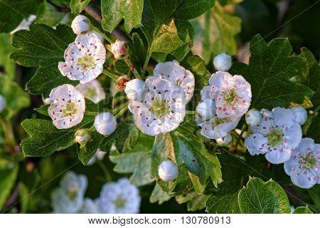 white flowers and buds on live branch of hawthorn in natural habitat in springtime