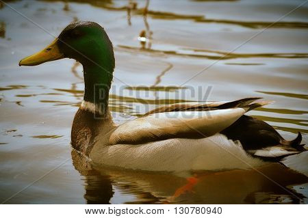 A Duck on the water in the wetland
