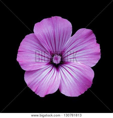 Lilac flower lavatera black isolated background. Macro. It can be used in website design and printing. Suitable for designers.