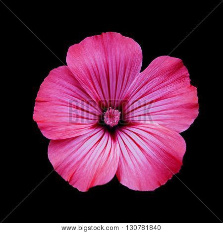 Red flower lavatera black isolated background. Macro. It can be used in website design and printing. Suitable for designers.