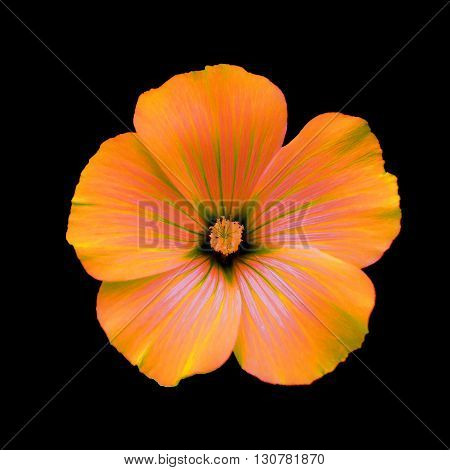 Orange flower lavatera black isolated background. Macro. It can be used in website design and printing. Suitable for designers.
