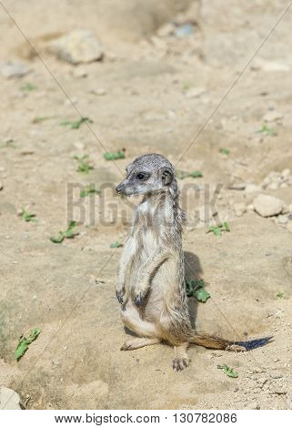 meerkat watching the environment carefully in desert area