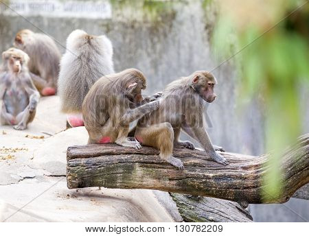 Baboons Grooming A Friend