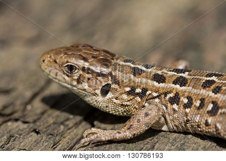 Head of brown lizards Lacerta Agilis with a small bug on it. Russia.