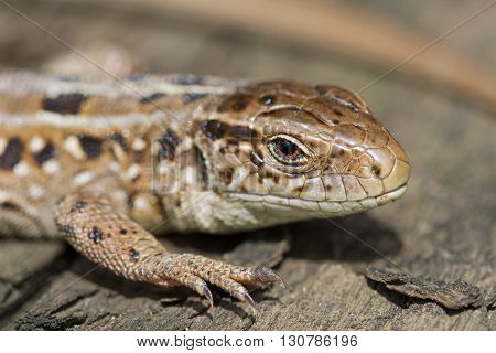 The head of the sand brown lizard Lacerta agilis. Spring Russia.