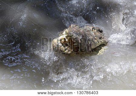 Big Alligator Head And Teeth
