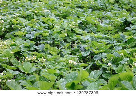 Green bushes of strawberry, spring shoots with flowers