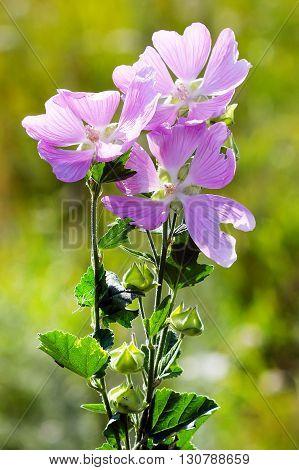 The lavatera Thuringian (wild rose) -- (Lavatera thuringiaca L.). Flowers large