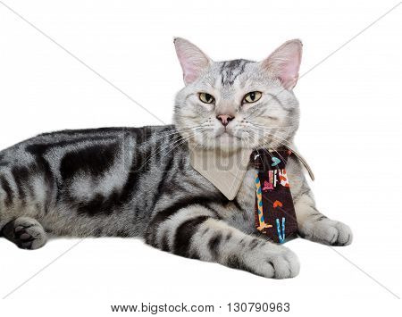 American shorthair cat with necktie. Isolated on white background with copy space