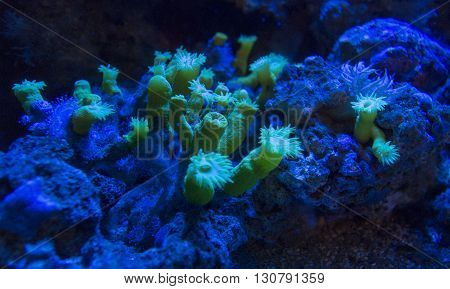 tropical coral under blue light close up