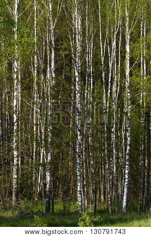 Birch grove on border with Belarus and Russia. Located in Ukraine, Sumy region, Polissya