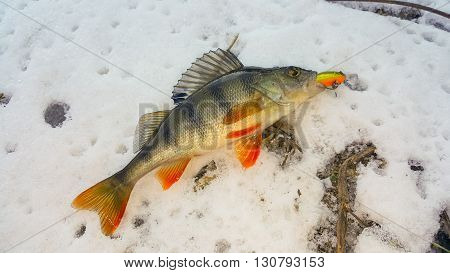 Fish caught on the ground. Perch on the berg of the river catch.