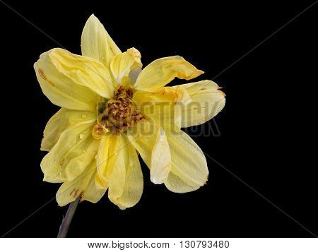 Beautiful Yellow dahlia withered flower with petals isolated on a black background