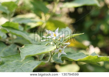 Eggplant flower flower flower This would be the most beautiful.