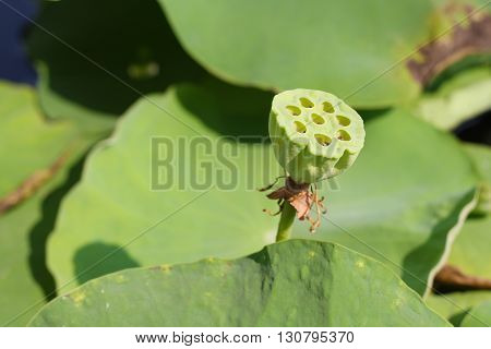 lotus seeds is the most beautiful ever seen