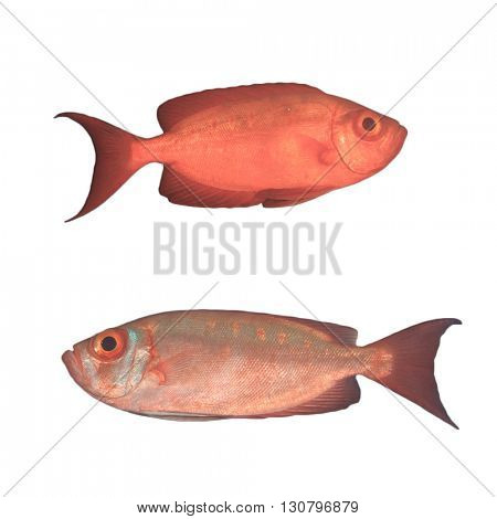 Live red Snapper fish isolated white background