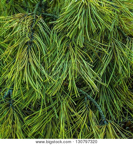 Texture of green pine needles close-up, forest