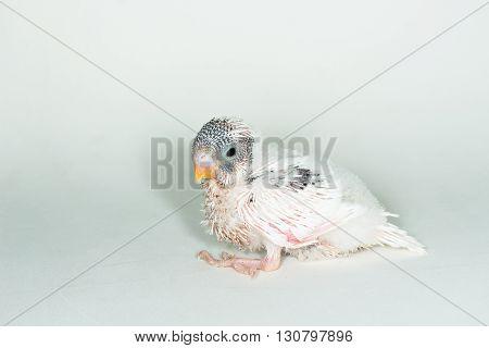 Budgarigar, Budgie Bird