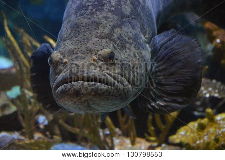 A Grouper fish swimming in the aquarium