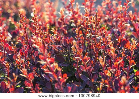 Barberry bush, colorful floral red background, Autumn background with Thunberg's barberry