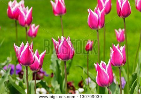 Bouquet of tulips shown in natural scenery