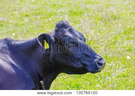 Black cow with a yellow ear tag