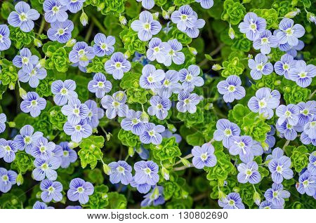 Background of many blue flowers and leaves. forget-me-not