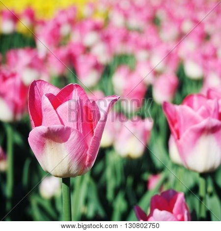 Pink Tulips On The Flowerbed. Aged Photo. Macro.