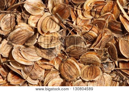 Dried round brown seeds of parsnip (Pastinaca sativa) fill the frame
