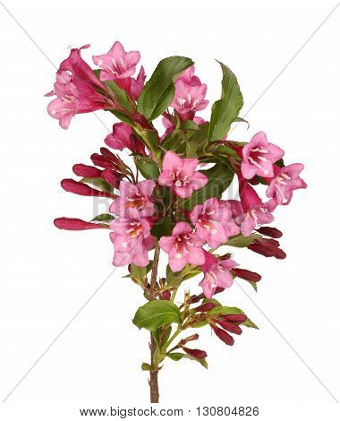 Branch with many pink flowers of crabapple (Malus species) isolated against a white background