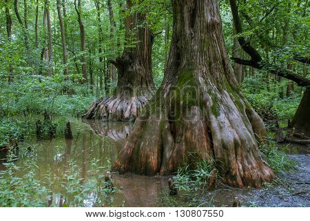 Big Cypress located in the Cache River natural area in Southern Illinois USA