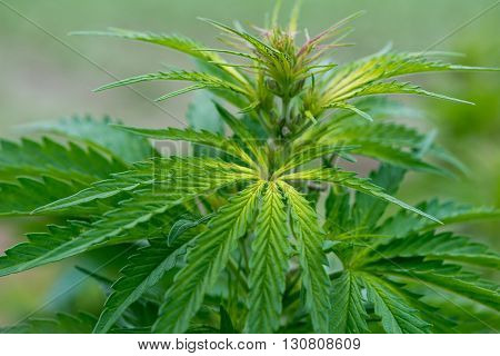 Green Cannabis Plants Growing In The Field