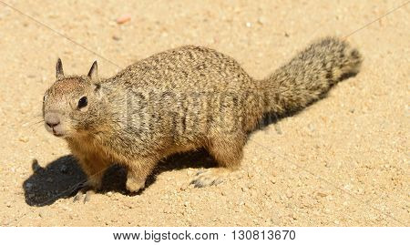 Close up view of California Ground Squirrel (Otospermophilus beecheyi)