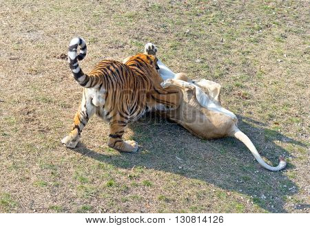 the close up view of amur tigers