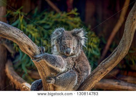 Koala Bear In The Tree