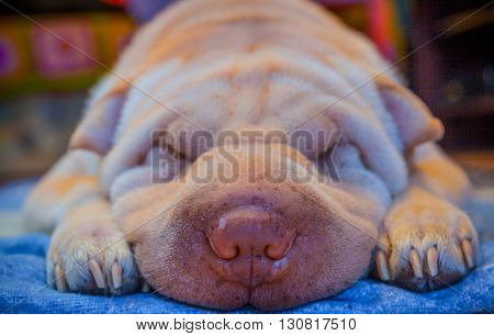Rest of a albino Shar-pei lying on a floor