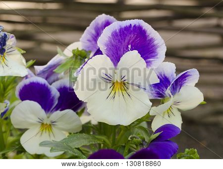 Beautiful pansy viola flower in garden. Pansies close up. Bright flower. Fun blossoming spring flowers.