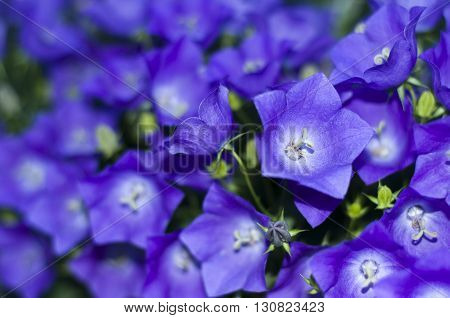 blue flowers, Natural blue wild flower,  blue background