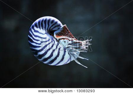 Nautilus Pompillius