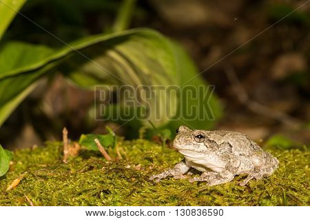 A Gray Treefrog crawling over a bed of moss.