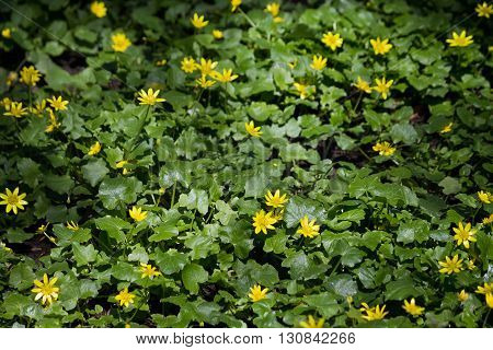 meadow with yellow flowers spring buttercup closeup