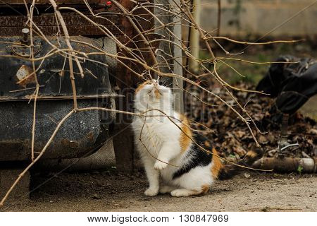 tricolored fluffy cat sitting on the street countryside