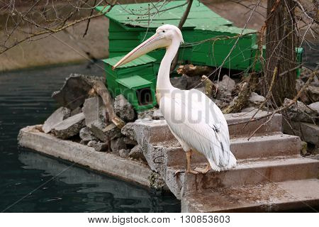 Big white pelican at the zoo