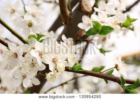 Beautiful spring blossoming tree