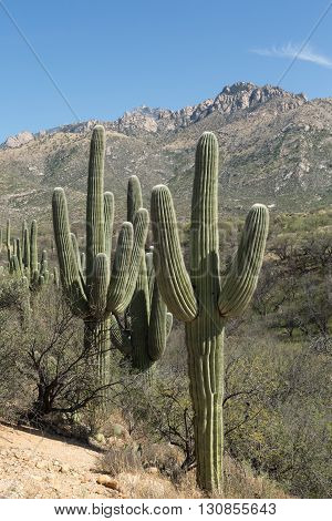 Saguaro cacti line Tucson's Catalina State Park