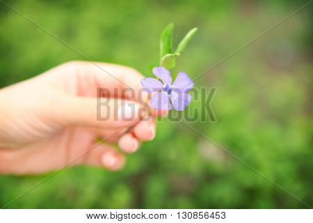 Female hand holding a periwinkle flower on green blurred background